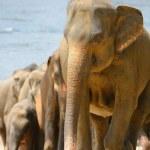 A flock of Indian elephants — Stock Photo