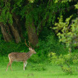 Deer in the wild — Foto Stock