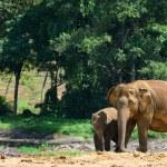 Elephants in the wild — Stock Photo #17878167