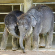 Stock Photo: Baby elephants