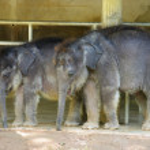 Baby elephants — Stock Photo