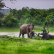 Elephant in the wild  — Stockfoto