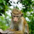 Monkeys in the living nature — Stock Photo