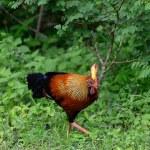 Wild cock — Stock Photo #17878559