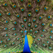 Peacock — Stock Photo #17878645