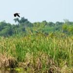 Flying wild duck — Stock Photo #17878659