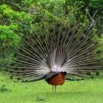 Peacock — Stock Photo #17878675