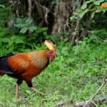 Wild cock — Stock Photo #17878717
