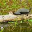 Turtle in the lake — Stock Photo