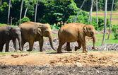 Elephants in the wild — Stock Photo