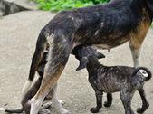 Dog feeding puppies — Stock Photo