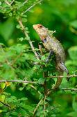 Beautiful lizard — Stock Photo