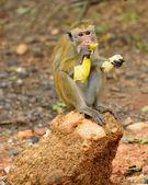 Macaco eatind uma banana na natureza viva — Fotografia Stock