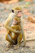 обезьяна с ребенком в живой природе — Стоковое фото