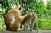 Macacos na natureza viva — Fotografia Stock