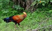 Wild cock — Stock Photo