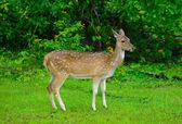 Ciervos en estado salvaje — Foto de Stock
