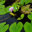 nymphaea lotus — Stock Photo