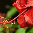 Hibiscus — Stock Photo #18819639