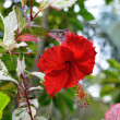 Hibiscus — Stock Photo #18824009