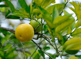 Mandarin on a tree — Stock Photo
