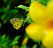 Tropical butterfly on a yellow flower — Stock Photo