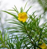 Yellow trumpet bush — Stock Photo