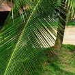 Stock Photo: Palm tree branch