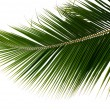 Branch palm tree — Stock Photo