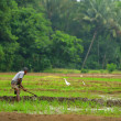 Stock Photo: Manual work of mon rice field