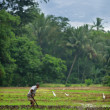 Manual work of the man on the rice field — Stock Photo
