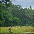 Manual work of the man on the rice field — Stock Photo #19272979