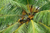 Palm tree with the fruit of coconut — Stock Photo