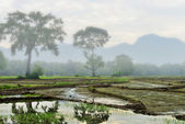 Rice fields early in the morning, the fog . — Stock Photo