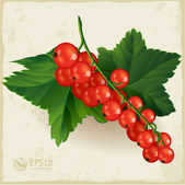 Redcurrant. — Stock Vector