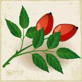 Two dog rose berry with leaves. — Stock Vector