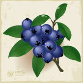 Ripe and fresh blueberries and leaves. — Stockvektor