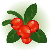 Cowberry. — Stock Vector