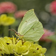 Stock Photo: Gonepteryx rhamni, Common Brimstone, Brimstone in august, Germany, Europe