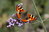 Small Tortoiseshell (Aglais urticae, Nymphalis urticae) on Verbena bonariensis (Argentinian Vervain) in Germany, Europe — Stock Photo