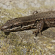 Foto de Stock  : Viviparous lizard (Lacertvivipara) or Common lizard in Germany, Europe