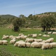 Stock Photo: Flock of sheep near Gennamari in Southwest of Sardinia, Italy, Europe