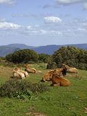 Koeien in het zuidoosten van sardinië in de buurt van armungia, italië, europa — Stockfoto