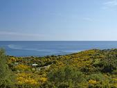 Landscape with broom shrubs in spring near Arbatax at the Capo Bellavista, Sardinia, Italy, Europe — Stok fotoğraf
