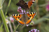 Peacock Butterfly (Nymphalis io, Inachis io)- European Peacock and Small Tortoiseshell on Purpletop Vervain in Germany, Europe — Stock Photo