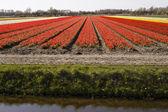 Tulip field near Noordwijkerhout, South Holland, Netherlands, Europe — Stock Photo