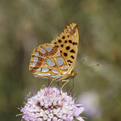 Issoria lathonia, Queen of Spain fritillary from Southern France, Europe — Stock Photo