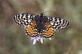 Melitaea didyma meridionalis, Spotted Fritillary or Red-band Fritillary (female) from Southern France, Europe — Stock Photo