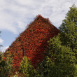 House with Japanese creeper, Woodbine, Boston Ivy, Ivy in Bad Iburg, Lower Saxony, Germany, Europe - Stock Photo