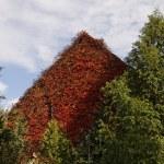House with Japanese creeper, Woodbine, Boston Ivy, Ivy in Bad Iburg, Lower Saxony, Germany, Europe — Stock Photo #22380397